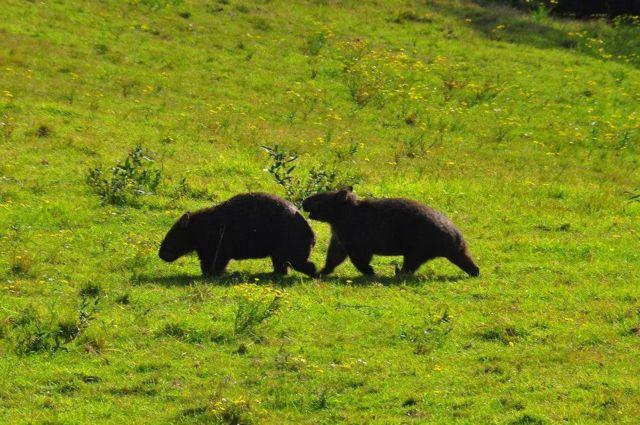 Wombats6