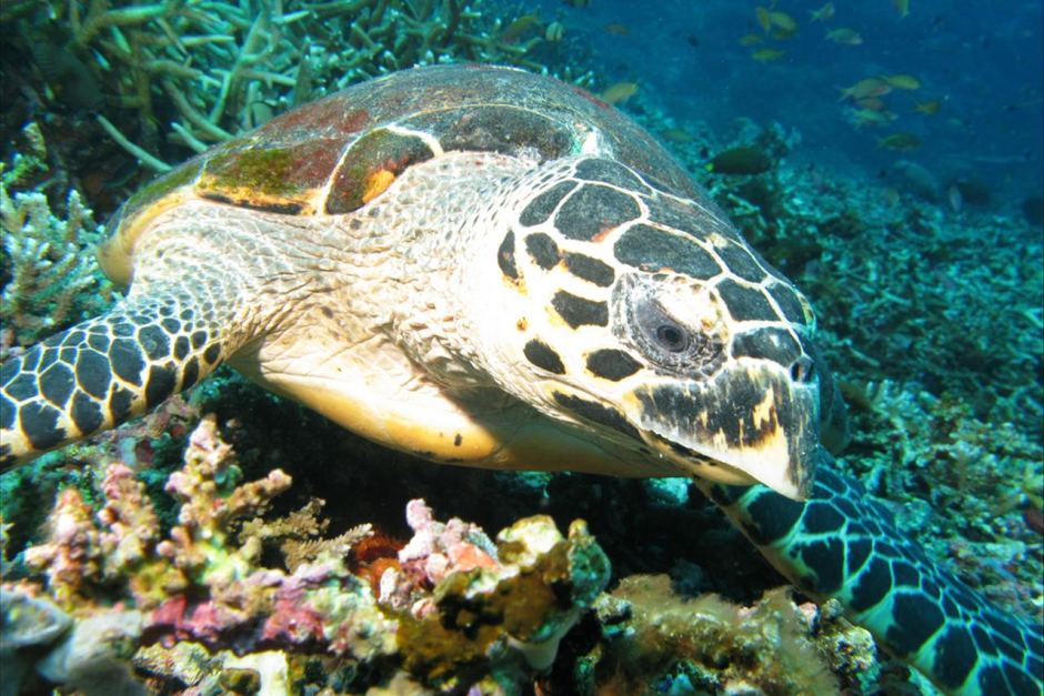 Female Hawksbill turtle photo ABC