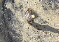 Nerita_blog_Fig_4_ Zebra_snail_medium