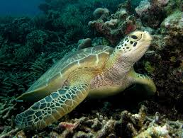 Hawksbill turtle  photo Dave Harasti