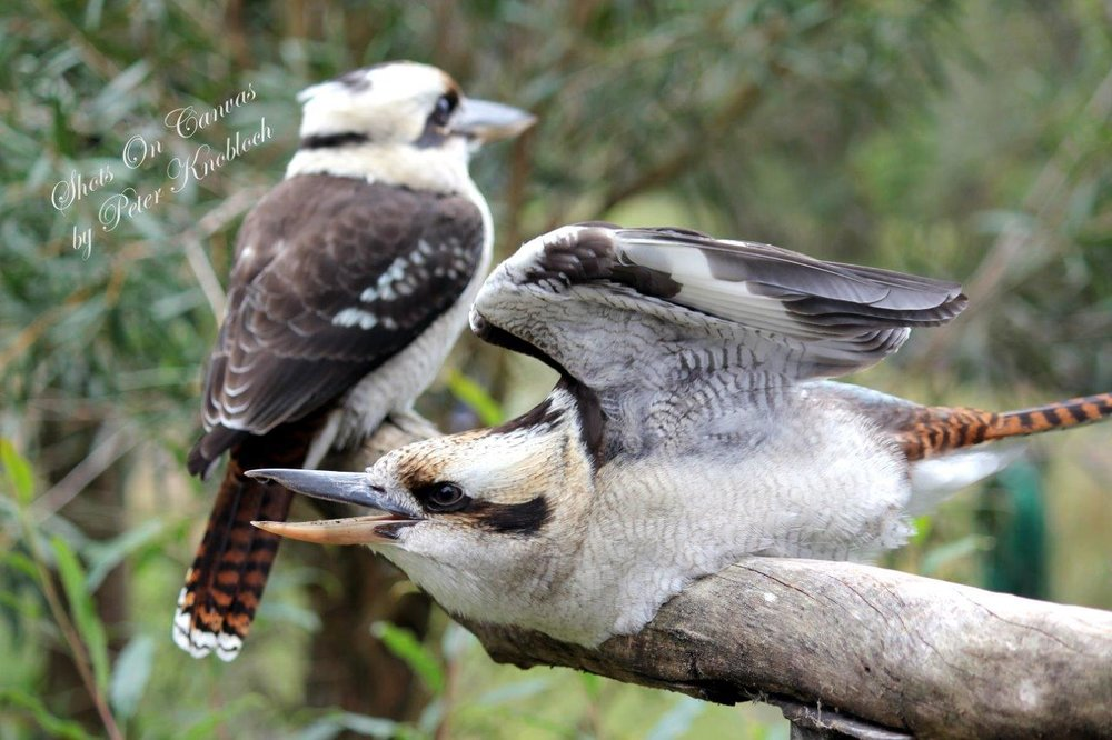9-bring-it-on-kookaburra-fight.jpg