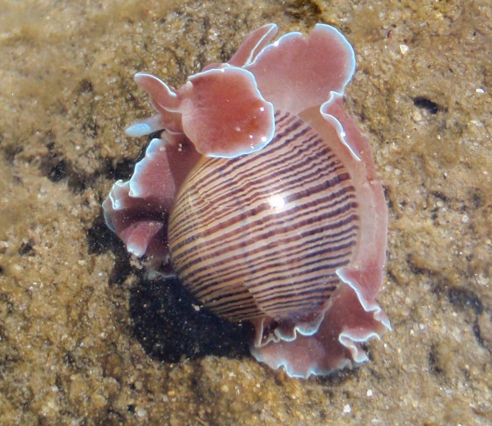 Rose-petalled Bubble shell