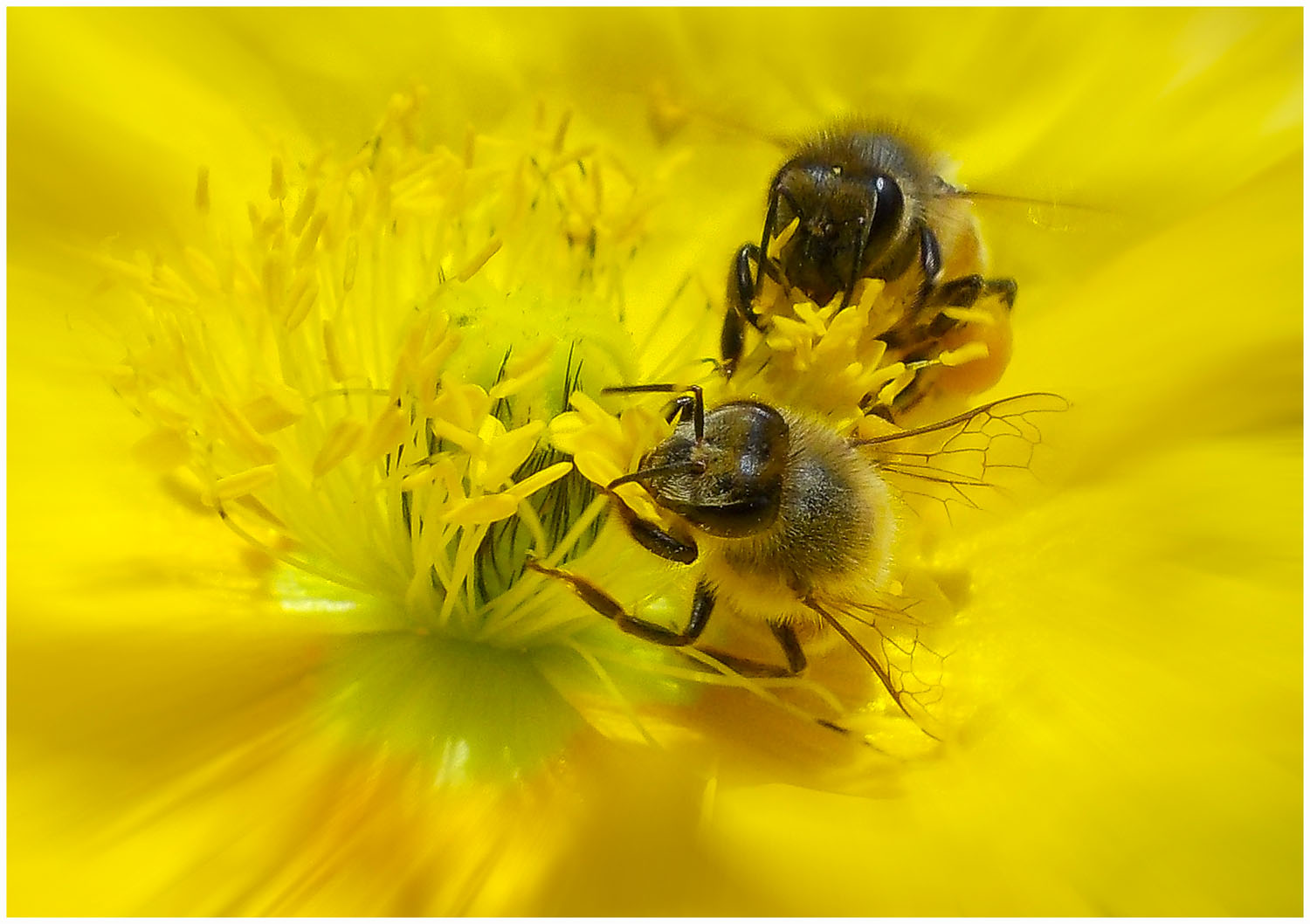 Taken with a Nikon Coolpix L25 compact, in our garden at Dalmeny. I couldn't resist the beautiful yellow flowers - neither could the bees!