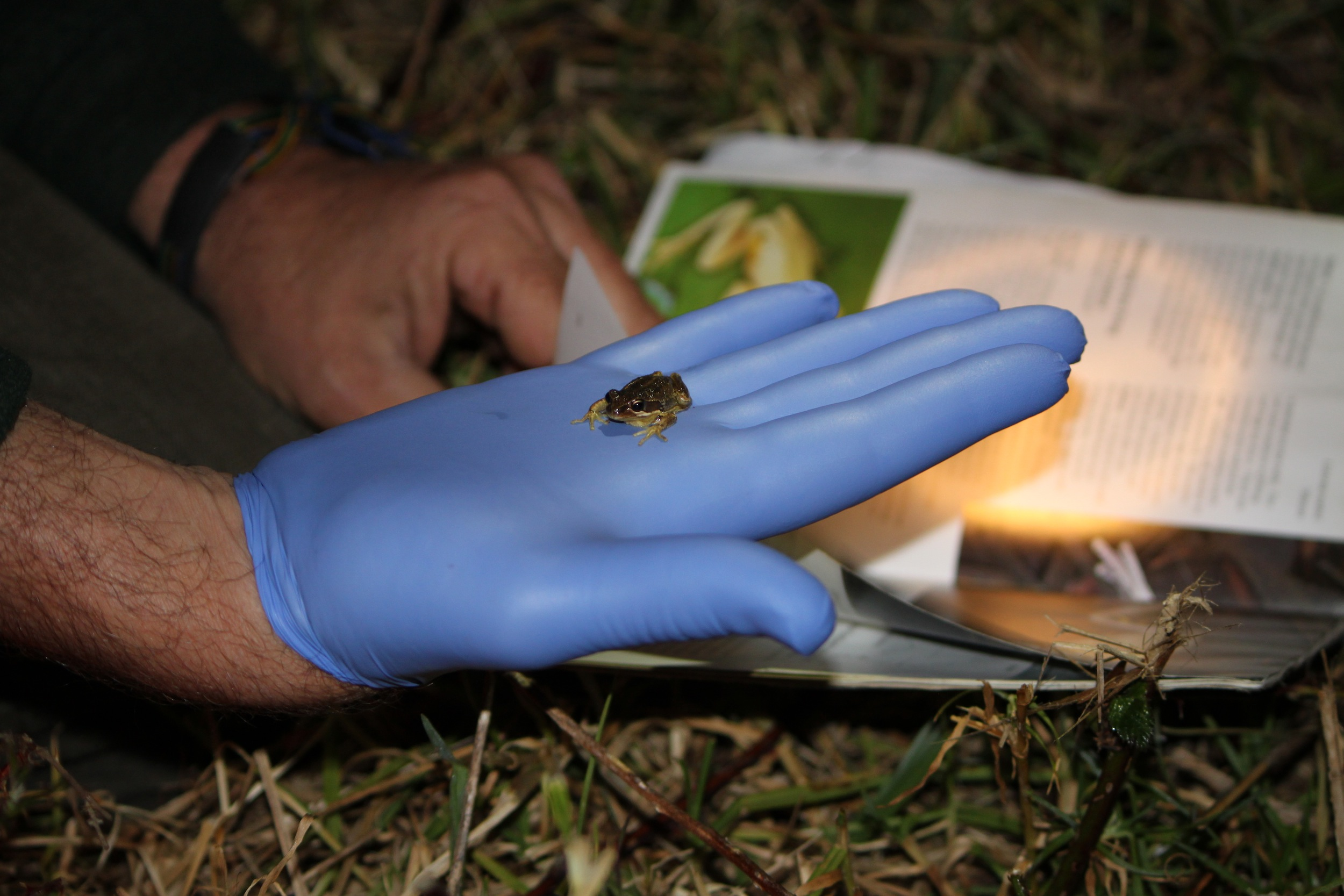 Identifying a frog - at the Panboola Bioblitz - Harrison Warne