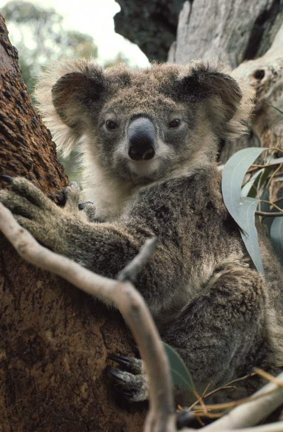 Australia_NSW_Koala__6d0e4f77ae56493cb31b2e52871a29c3