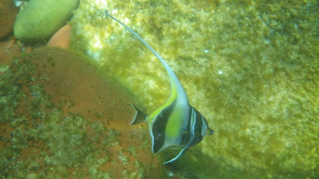 Moorish idol1