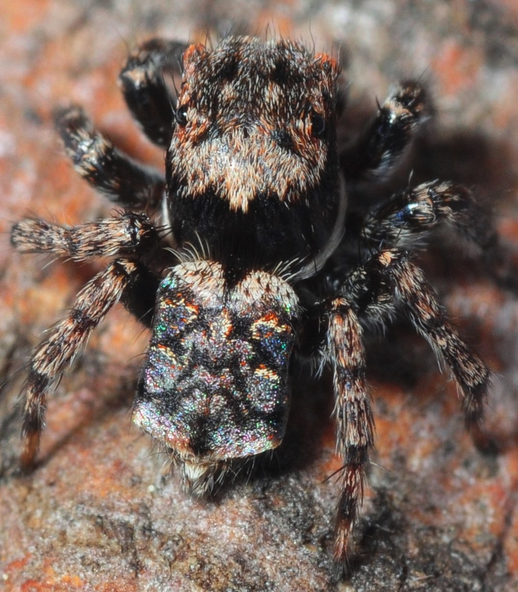 an unknown Peacock spider found by Helen Ransom at the Four Winds BioBlitz Photo Stuart Harris