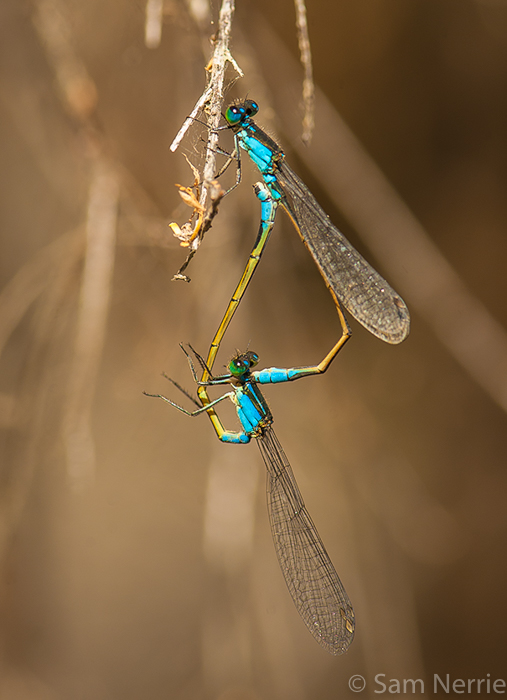These two damselfies were seen at Bournda National Park, NSW, Australia. It had been a bumper damselfly and dragonfly season and they were easily seen near waterways.