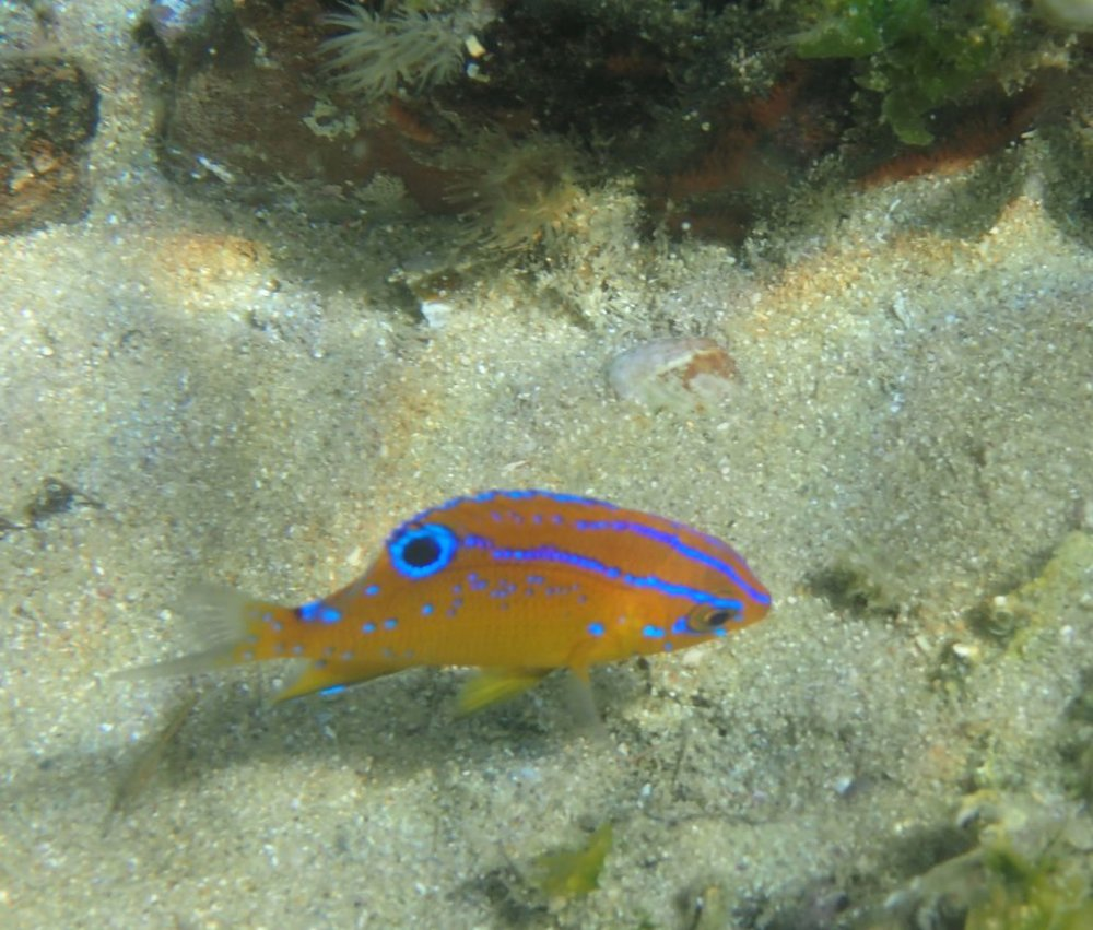 Parma microlepis