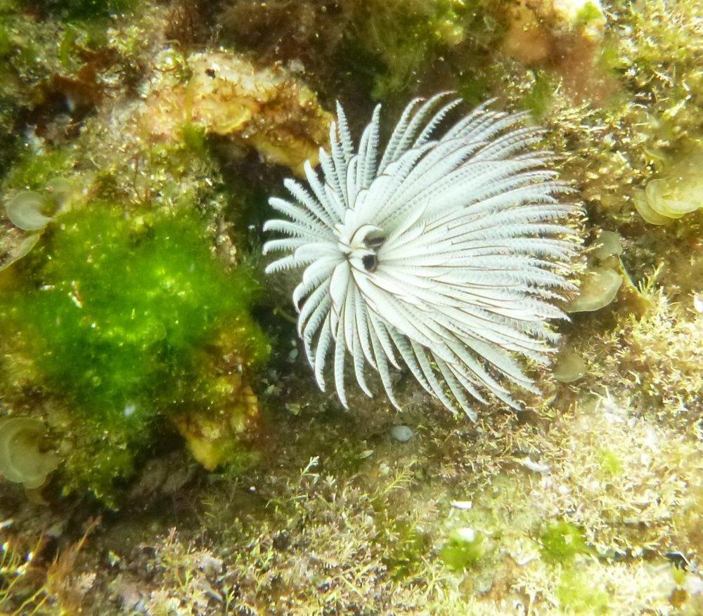 Sabellastarte australiensis
