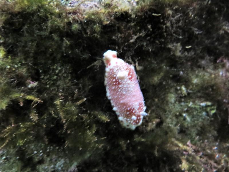 Chromodoris sp.