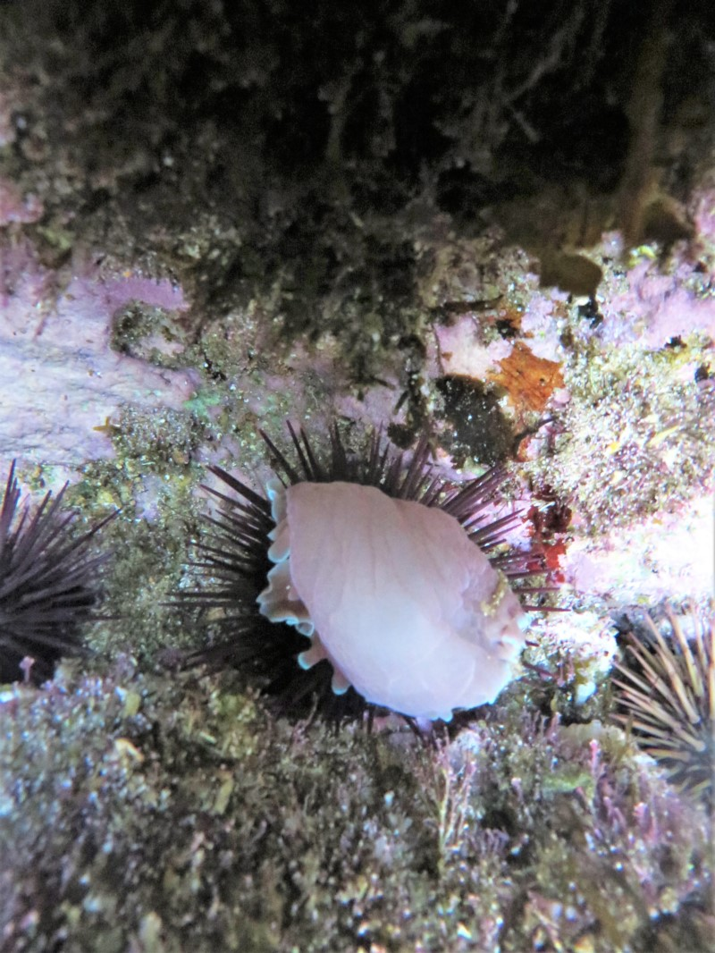 ?? shell-less Bubble shell ?? (atop a sea urchin)