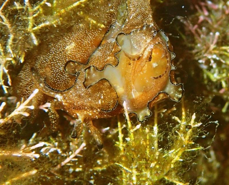 Stylocheilus striatus - tbc