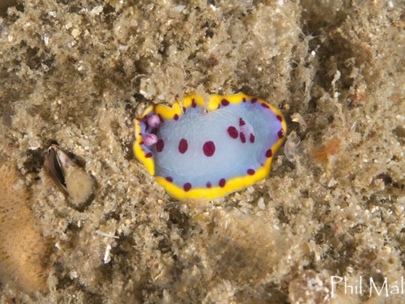 Hypselodoris bennetti