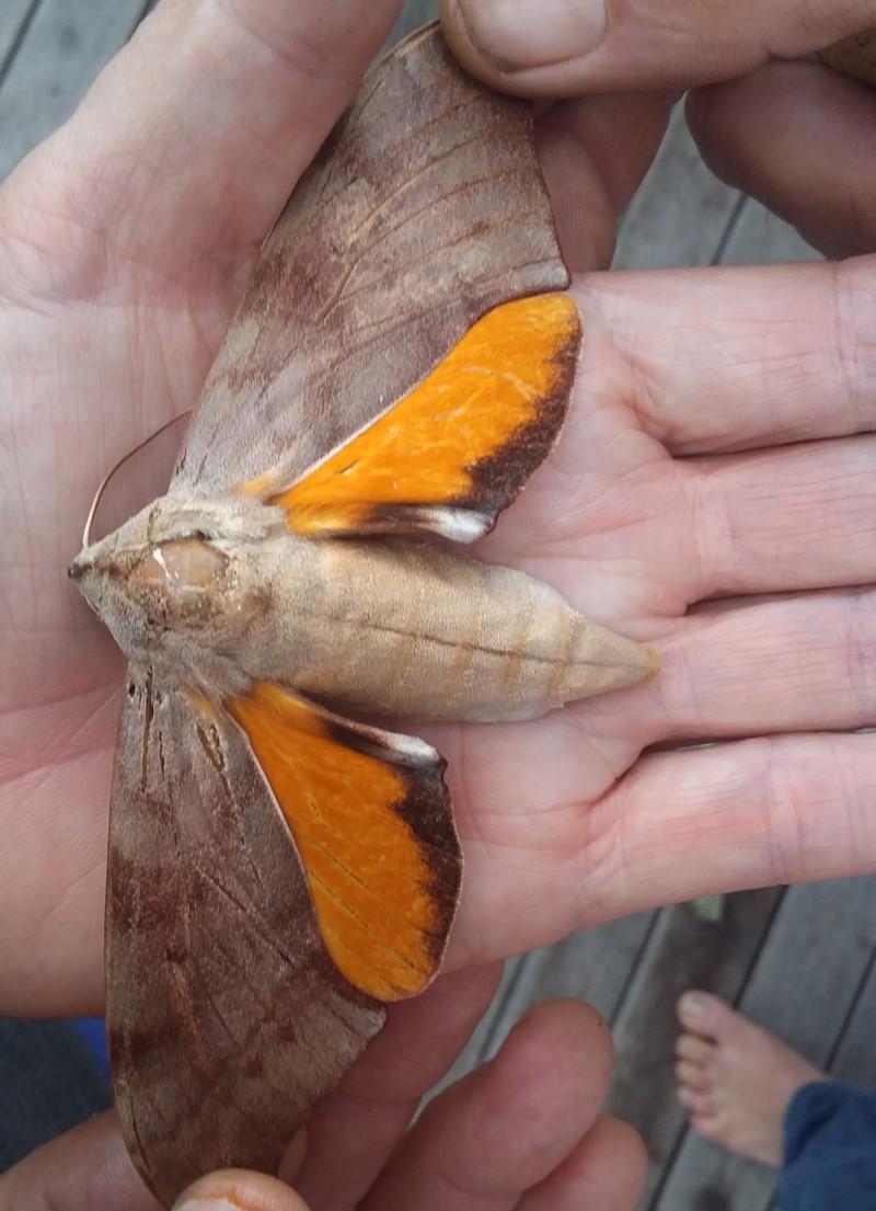 Coequosa australasiae