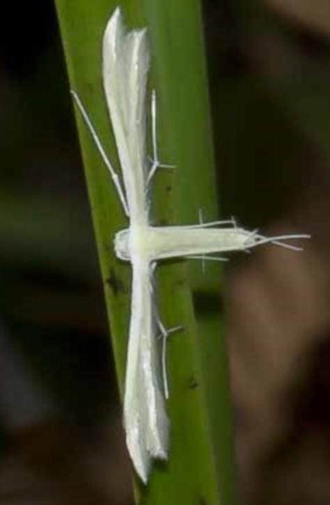 Family: Pterophoridae