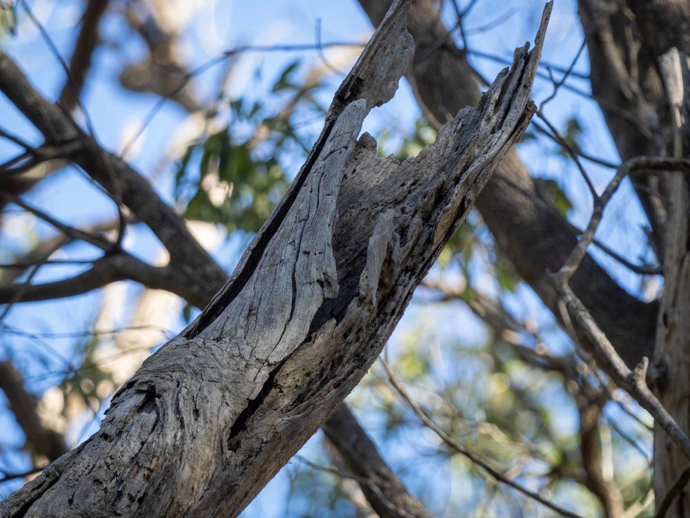 broken branch in old, dead tree