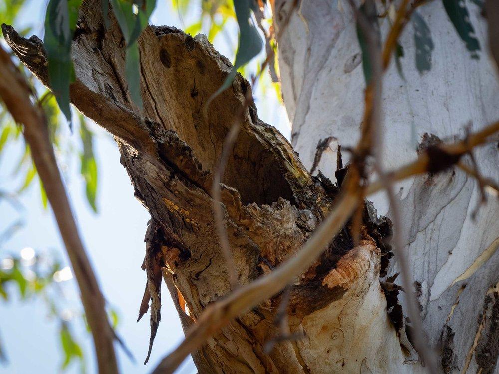 broken branch hollow in Eucalyptus