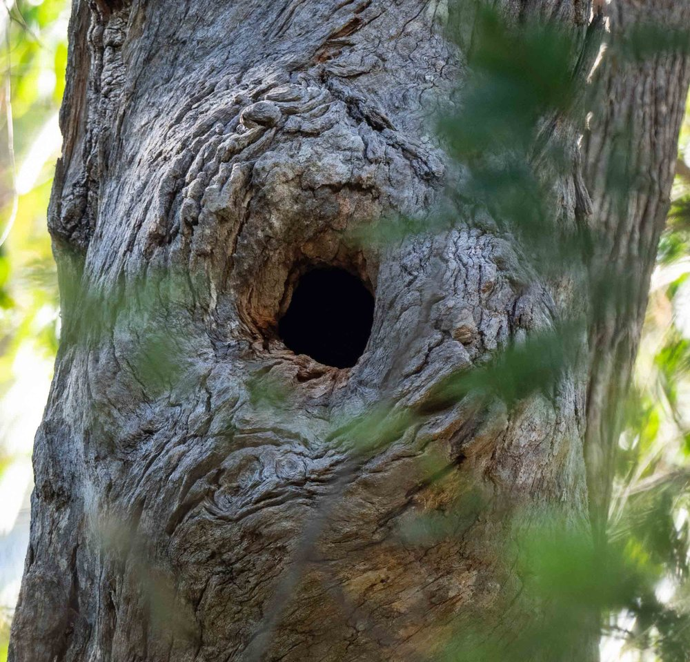 E: side-opening hollow in Angophora