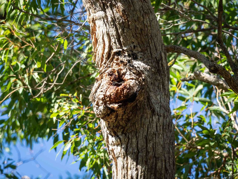 small hole high in Angophora