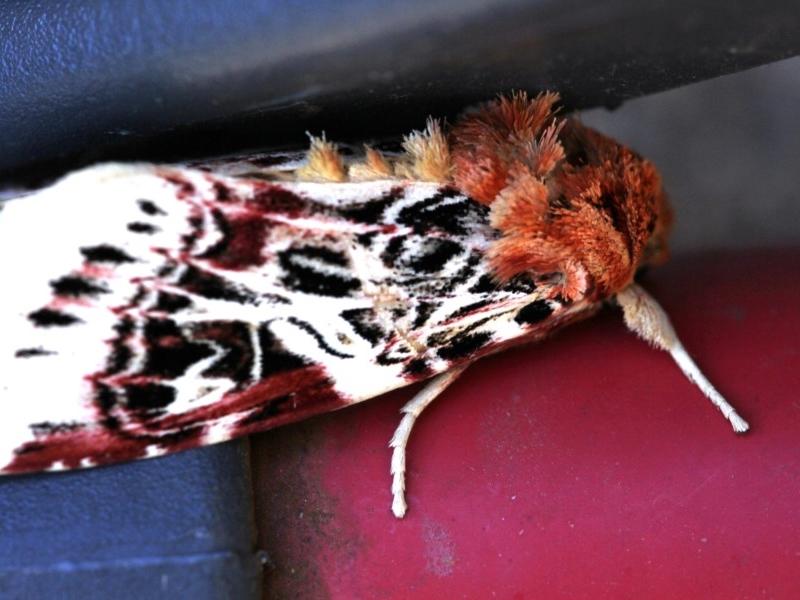 Spodoptera picta