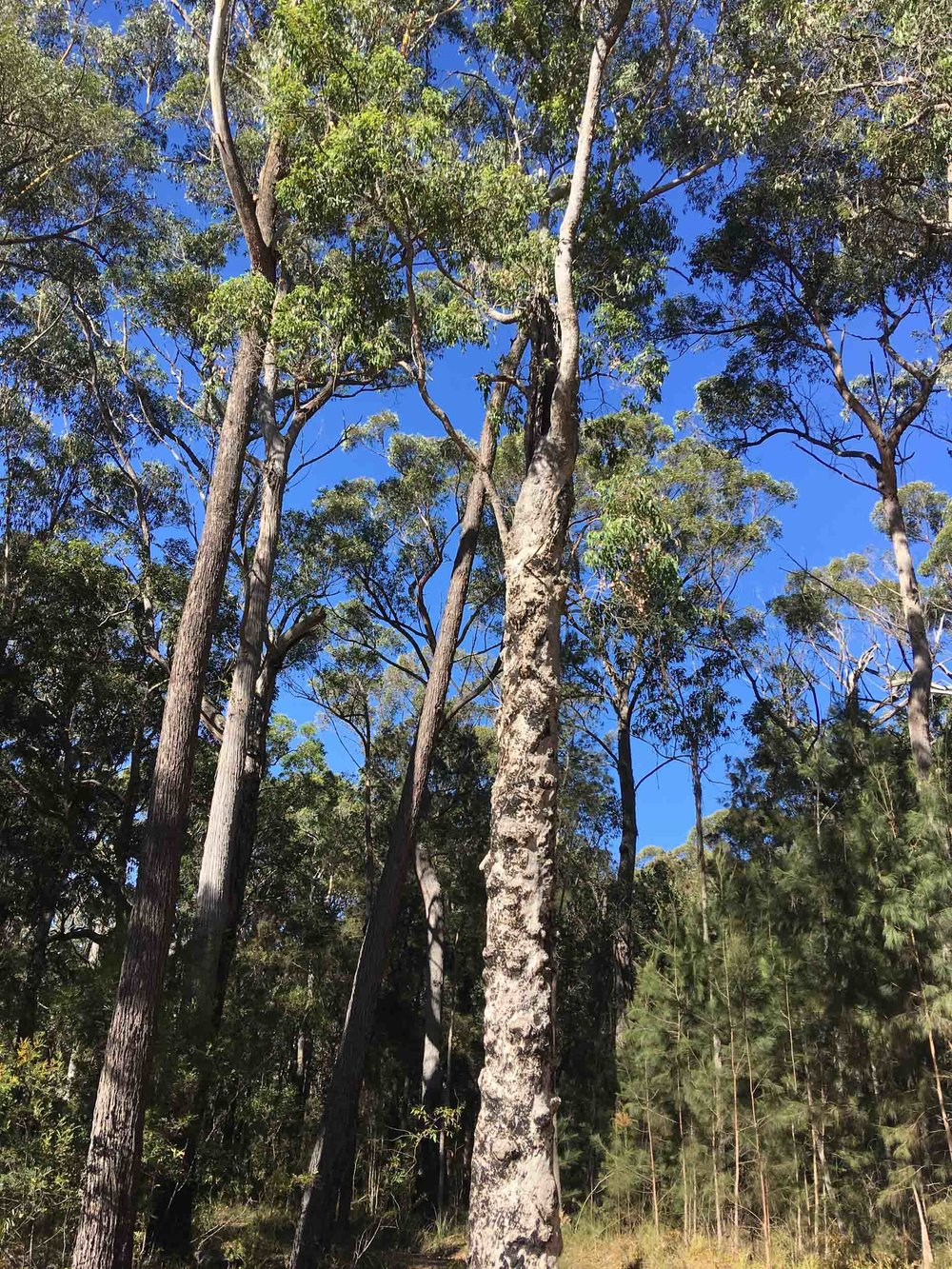 1: living but damaged Angophora (DBH=80cm)