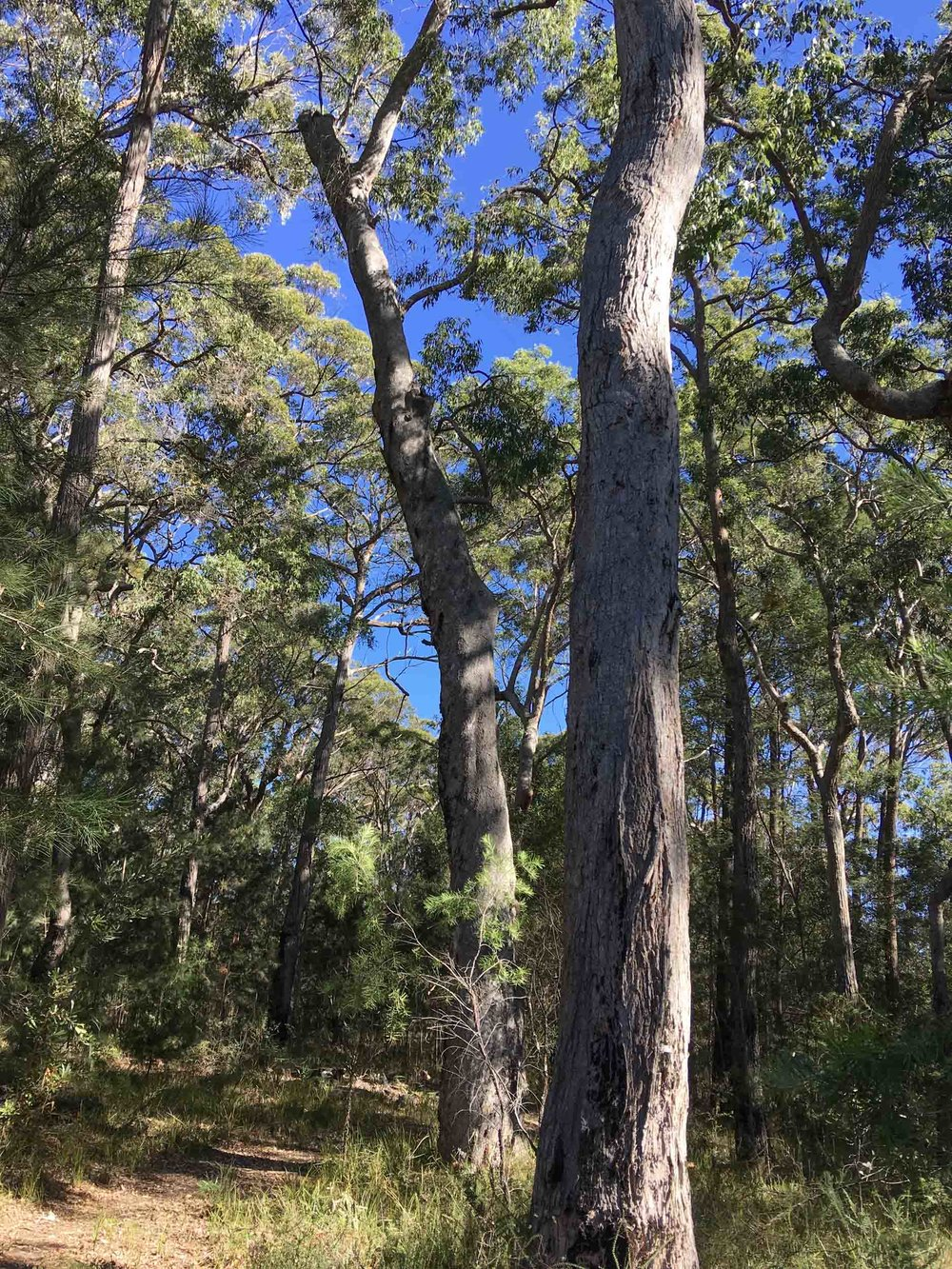 4: living but damaged Angophora (DBH=90cm)