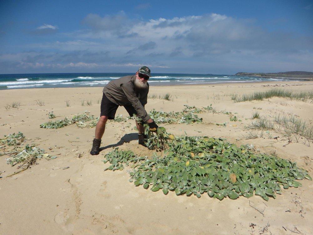 Stuart Cameron removing Beach Daisy from a Far South Coast beach (photo courtesy of FSC Landcare)