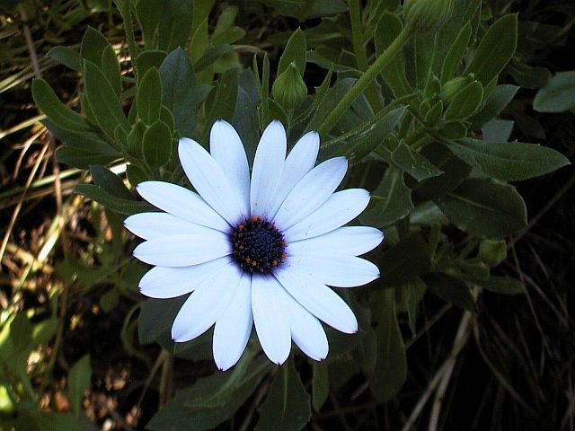 'African' or 'Cape Daisy'