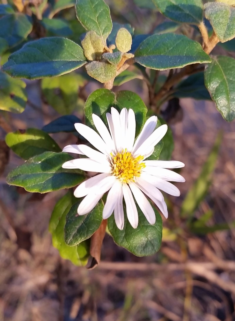 Toothed Daisy Bush - a native species