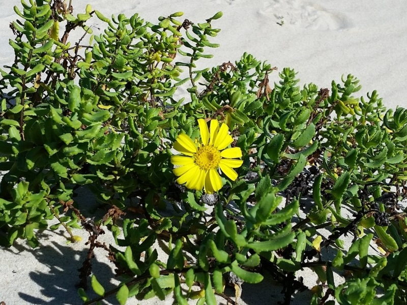 Dune Groundsel - a (rare) native species