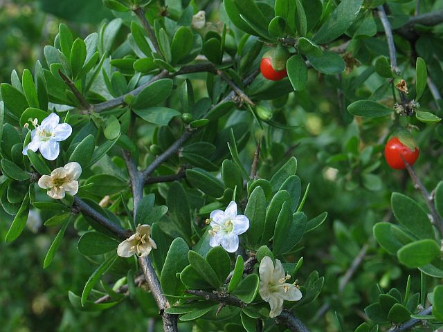 African Boxthorn