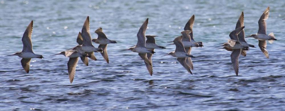 Bar-tailed Godwit flock, Merimbula.  Recorded in  NatureMapr   by Steve Burrows, July 2017.