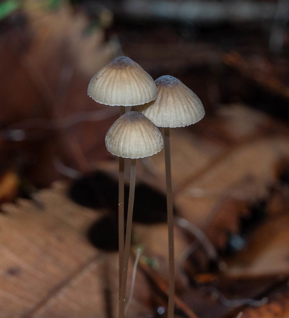 This leaf-litter mushroom ...