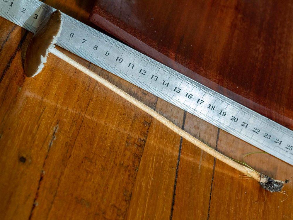 stem length