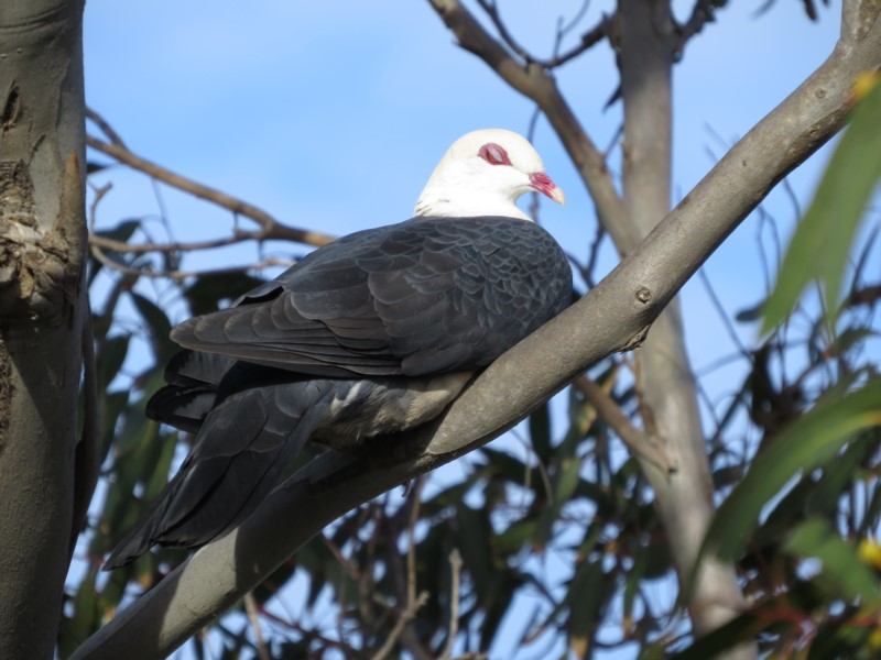White-headed Pigeon - adult male