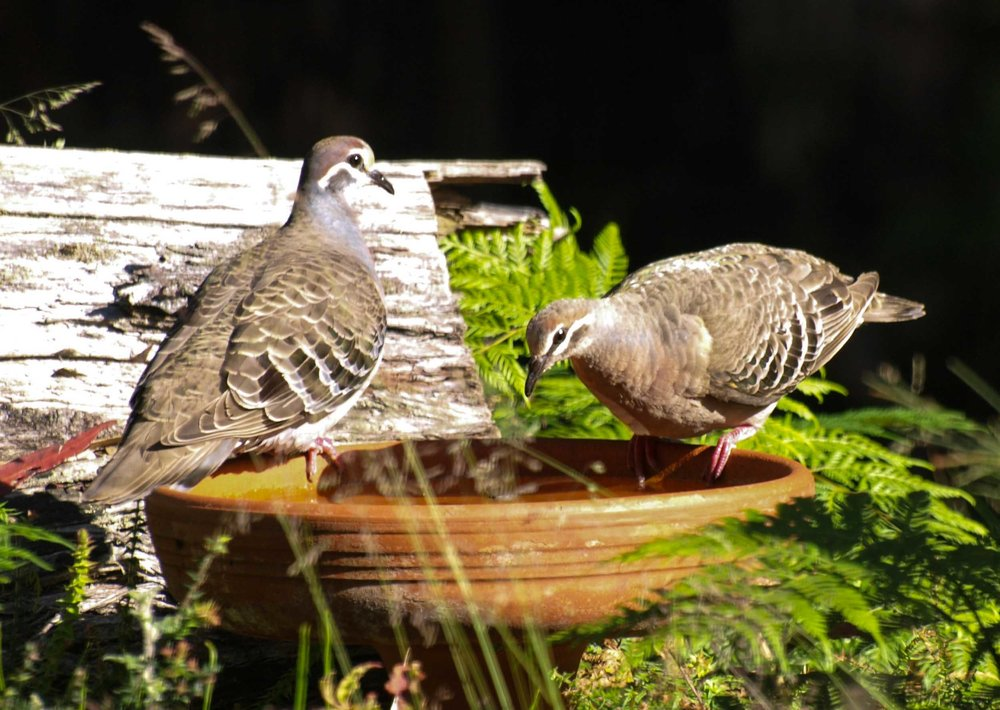 Common Bronzewing - male (left), female (right)