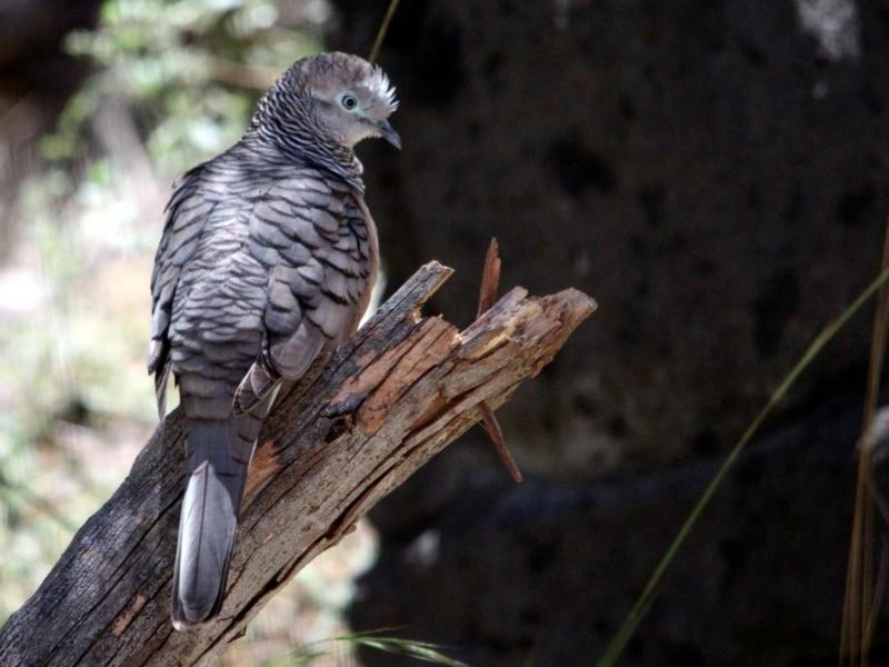 Peaceful Dove - adult
