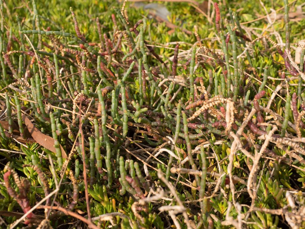 Samphire / Beaded Glasswort