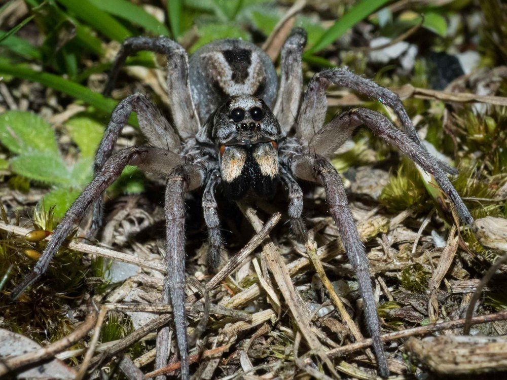 Wolf Spider (Hunter)