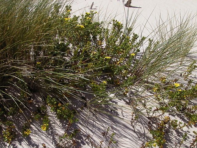 Senecio spathulatus  - a native species