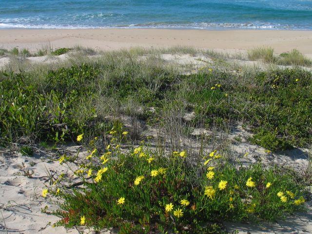 Senecio pinnatifolias  - a native species