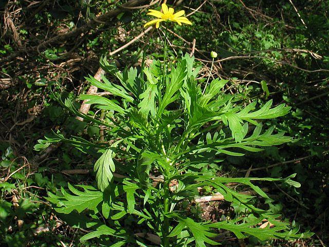 African Bush Daisy