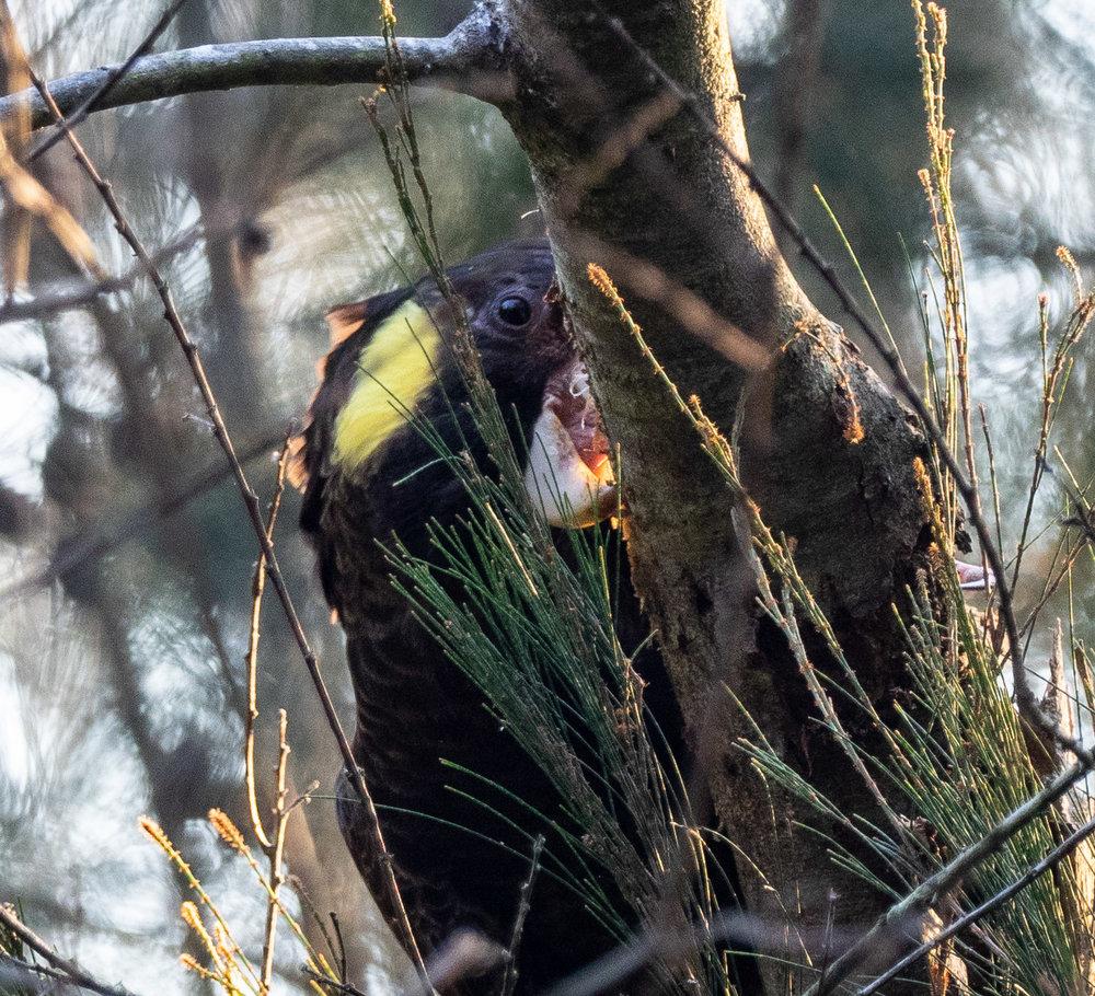 female, tearing at Acacia trunk