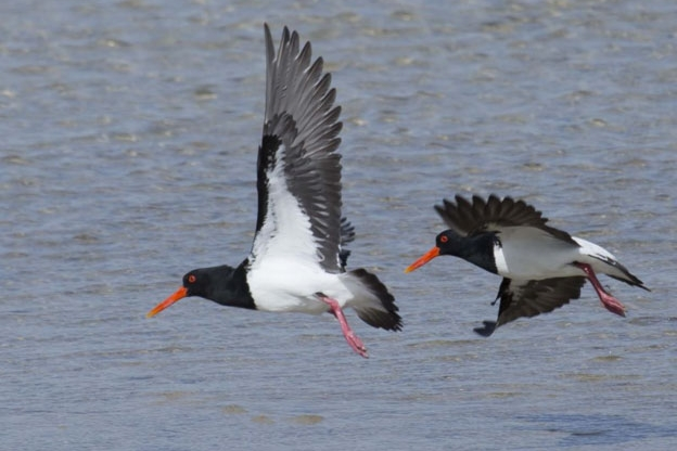 october:pied oystercatchers -