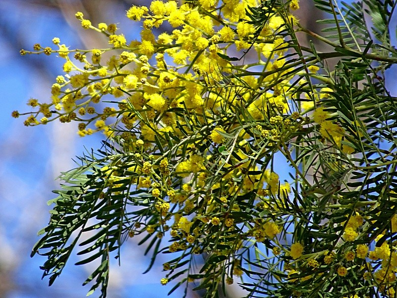 Acacia silvestris   Recorded by Max Campbell  in Brogo