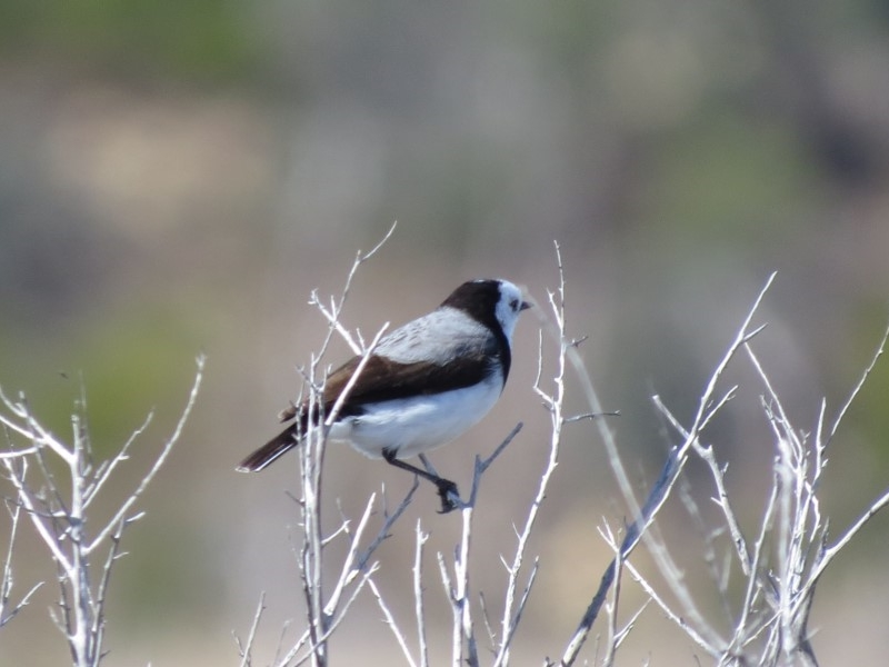 White-fronted Chat ( Ephianura albifrons )    Recorded by Liz Allen, Wallagoot Lake