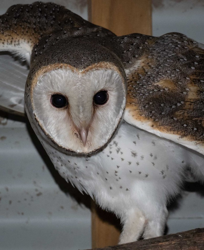 Barn Owl ( Tyto alba )   Recorded by Kerri-Lee Harris in Wonboyn