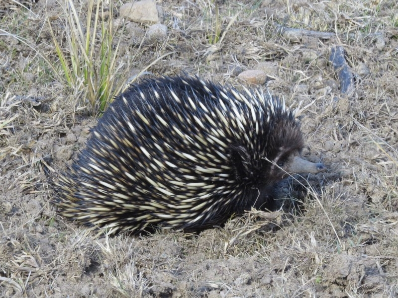 Short-beaked Echidna ( Tachyglossus aculeatus )  Recorded by Liz Allen in Wallagoot