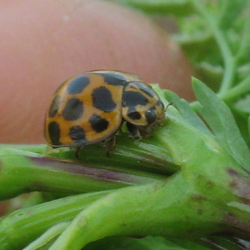 Spotted Ladybird ( Harmonia conformis )   Recorded by Jackie Miles in Bega